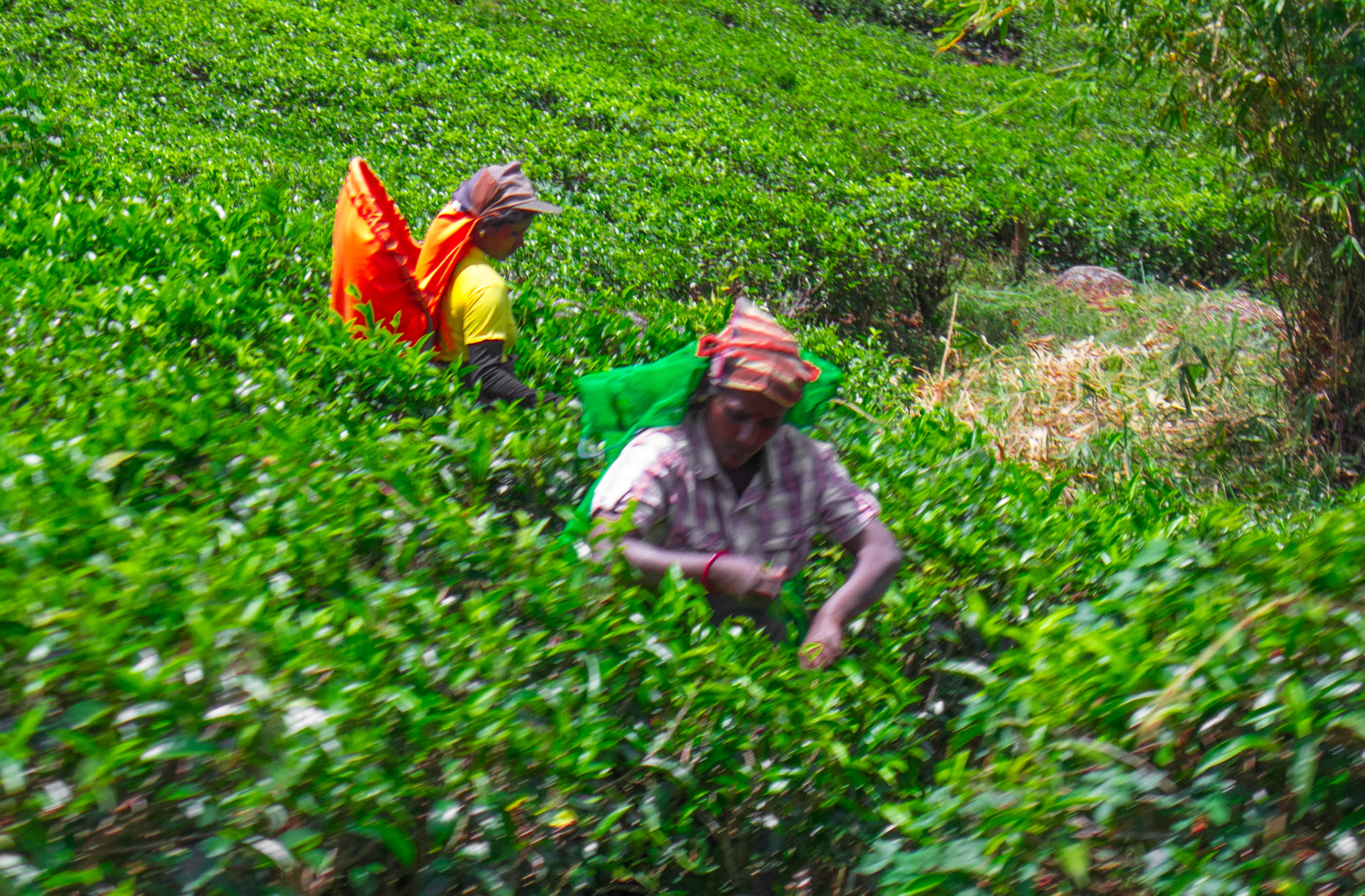Train view tea pickers