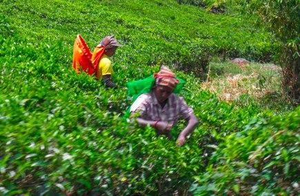 Train view tea pickers